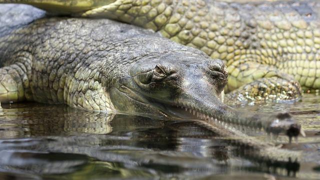 indický aligátor