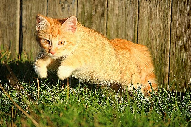 zrzavá kočka v zahradě