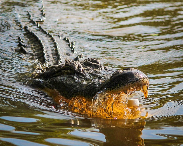 americký aligátor