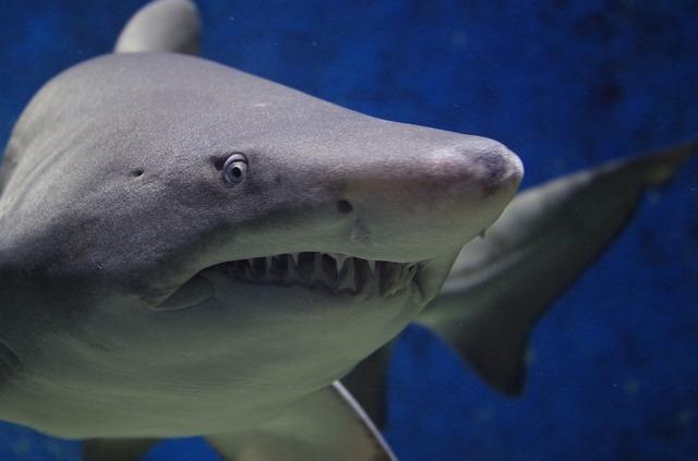 nebezpečný žralok