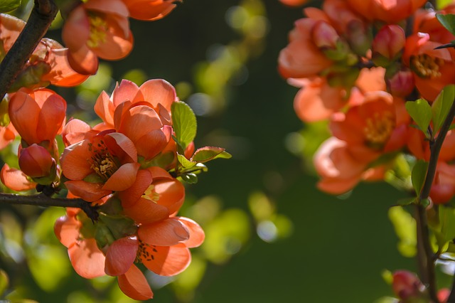 kvetoucí skalník