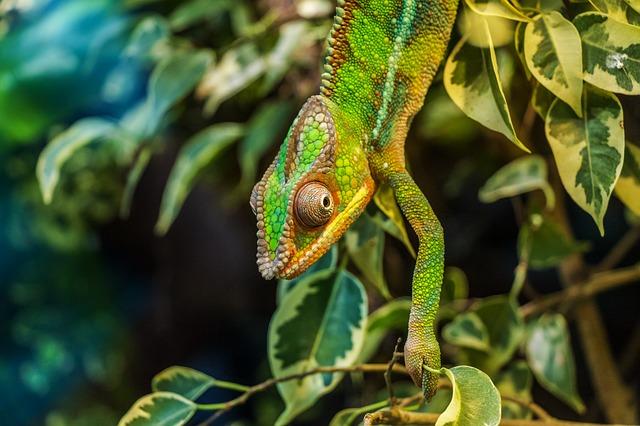 chameleón na větvičce