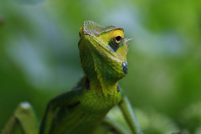 zelený chameleón